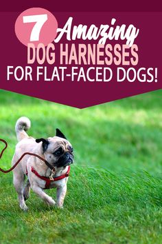 These no Pull dog harnesses are great for small dogs that love to pull. Small Dog Breeds, Small Dogs, Adult Pug, Flat Faced Dogs, Pug Accessories, Different Types Of Dogs, Old Pug, Homemade Dog Toys, Black Pug