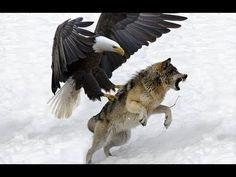 7 World& Largest Eagle Attack Eagles vs Bears vs Fox vs Humans The Eagles, Eagles Vs Bears, Eagle Images, Eagle Pictures, Wild Animals Attack, Animal Attack, Nature Animals, Animals And Pets, Cute Animals
