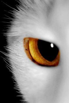 Výsledek obrázku pro all white cats I Love Cats, Big Cats, Cool Cats, Cats And Kittens, Beautiful Cats, Animals Beautiful, Cute Animals, Crazy Cat Lady, Crazy Cats