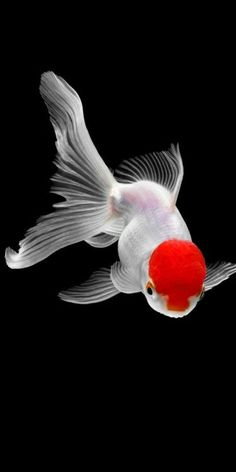 Tiere / Vögel Bilder, HD-Fotos Hintergrundbilder (Android / iPhone) – # - New Sites Oranda Goldfish, Goldfish Aquarium, Goldfish Tank, Lionhead Goldfish, Goldfish Wallpaper, Animal Wallpaper, Hd Wallpaper, Wallpaper Awesome, Beautiful Wallpaper