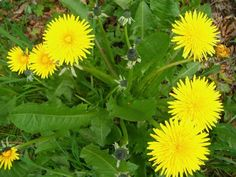 Ah, the humble and tenacious dandelion. How city dwellers hate it, engaging in futile yearly battles to eradicate it from their lawns and seemingly every crack