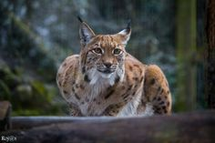 Photograph Lynx by Vinny Rojas on 500px