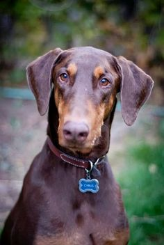 Doberman- sabel girl enlarged