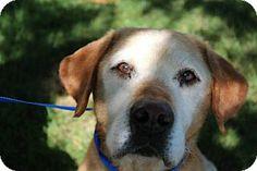 Buforde -- Labrador Retriever - 12 yrs old - Edina, MN - Secondhand Hounds - http://secondhandhounds.org http://www.adoptapet.com/pet/9609889-edina-minnesota-labrador-retriever