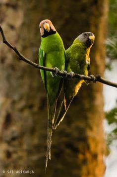Blossom-headed Parakeet (Male and Female) by Sai Adikarla on 500px