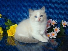 Gage Blue Bicolor Male Ragdoll - Ragdoll Kitten for Sale