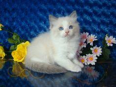 Gage Blue Bicolor Male Ragdoll - Ragdoll Kitten for Sale