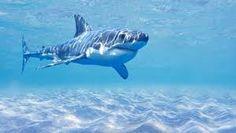 Afbeeldingsresultaat voor haaien
