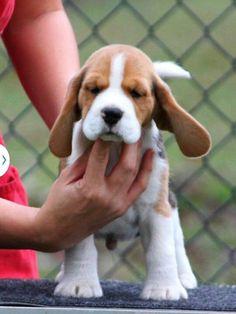 Beagle puppy #Beagle