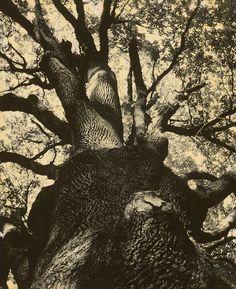 Francois Kollar - Vetvy najstaršieho francúzskeho duba