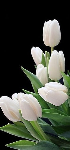 White Tulips #flowers