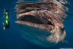 Whale Shark Expeditions | Jim Abernethy's Scuba Adventures