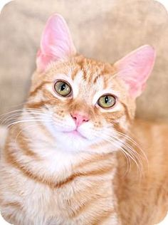 Trevose, PA - Domestic Shorthair. Meet Dusty, a cat for adoption. http://www.adoptapet.com/pet/17664546-trevose-pennsylvania-cat