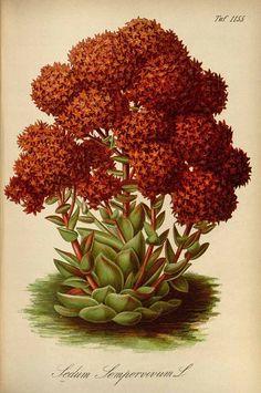 Sedum Sempervivum L., Rosularia sempervivoides (Fischer ex M. Bieberstein). Gartenflora [E. von Regel], vol. 33: t. 1155 (1884)