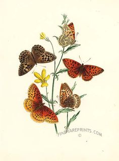 Antique print: Aphrodite and other Butterflies on Viola [#11589]