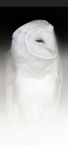 Purest is a white barn owl • photo: Sue Demetriou on Dark Nature Photography
