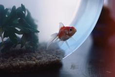 I wish a goldfish wanted to live in my room