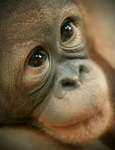 Meeting an orphaned baby orang-utan in the flesh, only deepened my love for them. Primates, Mammals, Cute Baby Animals, Animals And Pets, Nature Animals, Wild Animals, Beautiful Creatures, Animals Beautiful, Monkey See Monkey Do