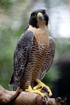 Saw a big guy like this the other day on the side of the road - it was eating something, likely roadkill. I grew up in a neighborhood named after the Falcon and I don't know how common it is to see these badasses but I was excited. And I was pretty thankful I actually got to see one of the Peregrine's that supposedly inhabit our city. #falcon