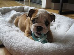 Baby bulldog.. Only other baby I want for awhile.