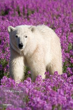 Polar Bear (Ursus maritimus) in a field of fireweed, Hudson Bay, Canada White Bears, Bay Canada, Hudson Bay, Polar Bear, Travel Photography, Beautiful Places, Bucket, Flower, Pictures
