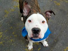 TYSON - ID#A1003087  I have been adopted!  I am a neutered male, brown brindle and white Pit Bull Terrier mix.  The shelter staff thin...