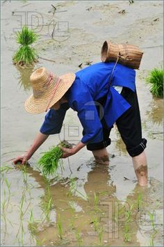 Google Image Result for http://www.featurepics.com/FI/Thumb300/20090802/Chinese-Farmer-Planting-Rice-Field-1282762.jpg