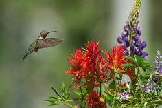 Jewel of the Tetons - Broad-Tailed Hummingbird by Tom Mangelsen, Jackson Hole, Wyoming Flower Bird, Butterfly Flowers, Butterflies, All Birds, Little Birds, Flying Flowers, Hummingbird Tattoo, Bird Feathers, Wildlife Photography