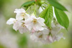 an Oshima cherry on a rain day... by Keiko Negishi - Photo 207087361 / 500px