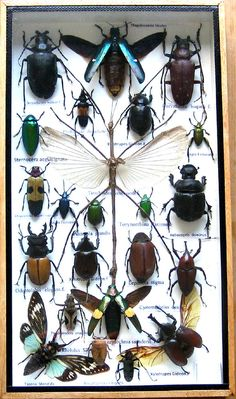 Real Mounted Insect Boxed Rare Insects Display Taxidermy Entomology Zoology   Collectibles, Animals, Insects & Butterflies   eBay!
