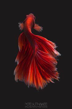 Red Halfmoon - Red Halfmoon Betta Fish