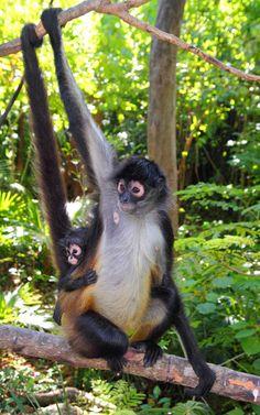 Madre y cría de mono araña (Género Ateles)
