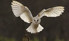 A Barn Owl flying