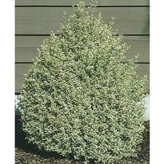 Monrovia 16 Gallon Insignificant Dwarf English Boxwood at Lowes