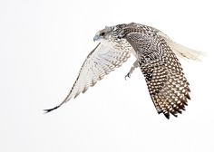 Male White Gyrfalcon In-Flight by Rob McKay Photography, via Flickr.