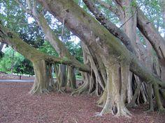 Banyan trees at Marie Selby Botanical Gardens in Sarasota, Florida