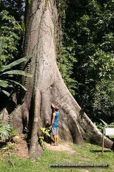 Mania de Amazônia - Árvores, Palmeiras e Ervas medicinais da Amazônia e do Brazil / Trees, Palms and Medicinal Herbs of Amazon and Brazil