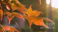 Title:  Leaf In The Sun   Artist:  Andrea Anderegg    Medium:  Photograph