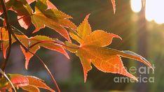 Title:  Leaf In The Sun   Artist:  Andrea Anderegg    Medium:  Photograph