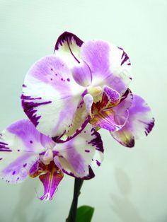 Orchids-shop.eu - Doritaenopsis Fursheng`s Mystical Dream `Come True` HCC/AOS