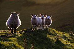 Angel Sheep (by Gail)