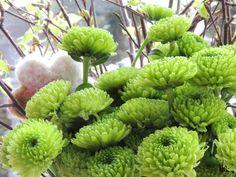Flower-Friday, grüne Chrysanthemen