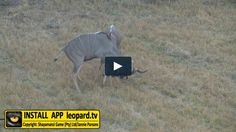 Dominance amongst the kudu bull is mostly based on the size as well as the… Tv Videos, Horns, Wildlife, Wrestling, Female, Nature, Animals, Lucha Libre, Horn