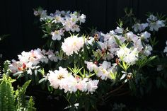 Our rhododendron fragrantissimum is blooming like crazy after the recent rains ...