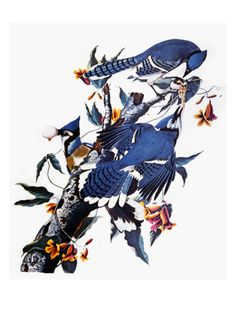 "Audubon: Blue Jay Giclee Print by John James Audubon  ""Rogues"" and ""thieves"" Audubon called these marauding Blue Jays. ""See how each is enjoying the fruits of his knavery, sucking the egg which he has pilfered from the nest of some innocent dove or harmless partridge. Who could imagine that a form so graceful, arrayed by nature in a garb so resplendent, should harbor so much mischief; that selfishness, duplicity, and malice should form the moral accompaniments of so much physical…"