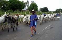 Southern Kaduna Killings: Cattle breeders association reveals those behind crisis