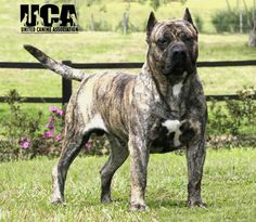 Presa Canario! Want one this ones beautiful, I think it has a Verdino Brindle coat