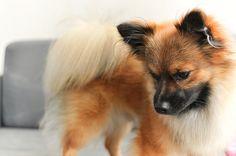 Nacho the Pomeranian    Like, repin, share! :)