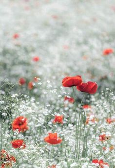 Poppies and babys breath