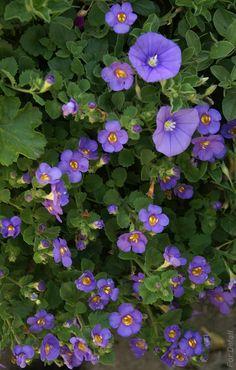 Menšie kvety Bacopa (Sutera cordata), väčšie - Modrý Mauritius (Convolvulus sabatius). Bacopa neobľubuje príliš horúce stanovište, aj keď sa polieva.Má rada prihnojovanie a stredne bohatú zálievku.